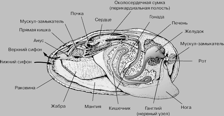Схема строения мидии