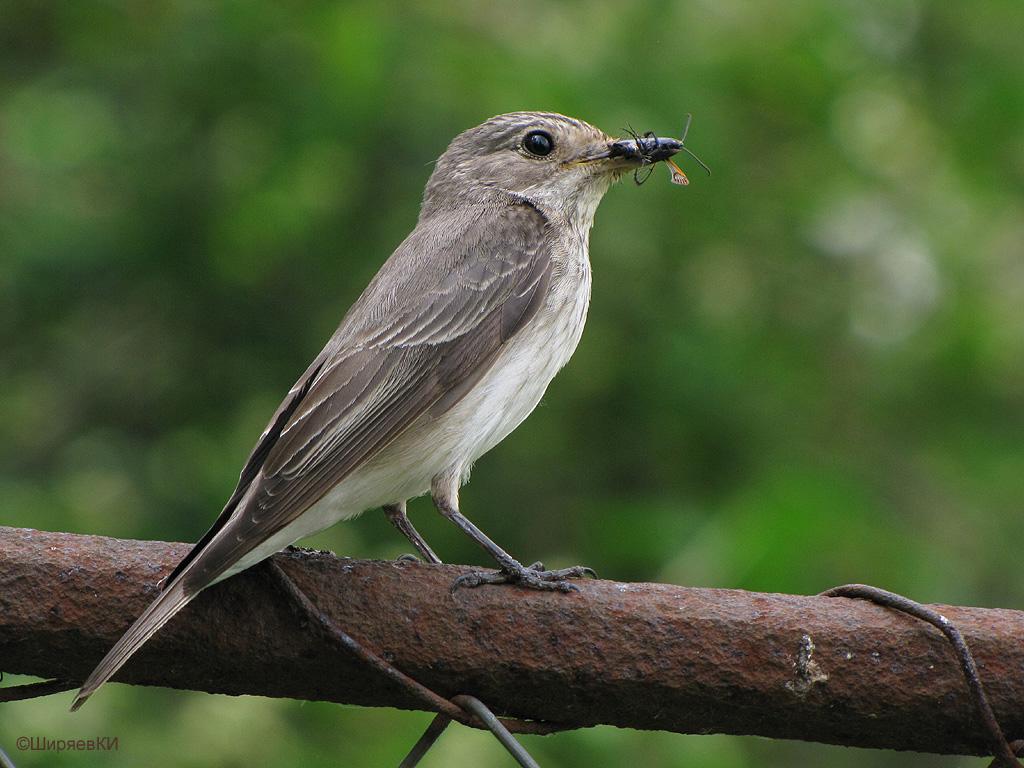 Синички  маленькие птички