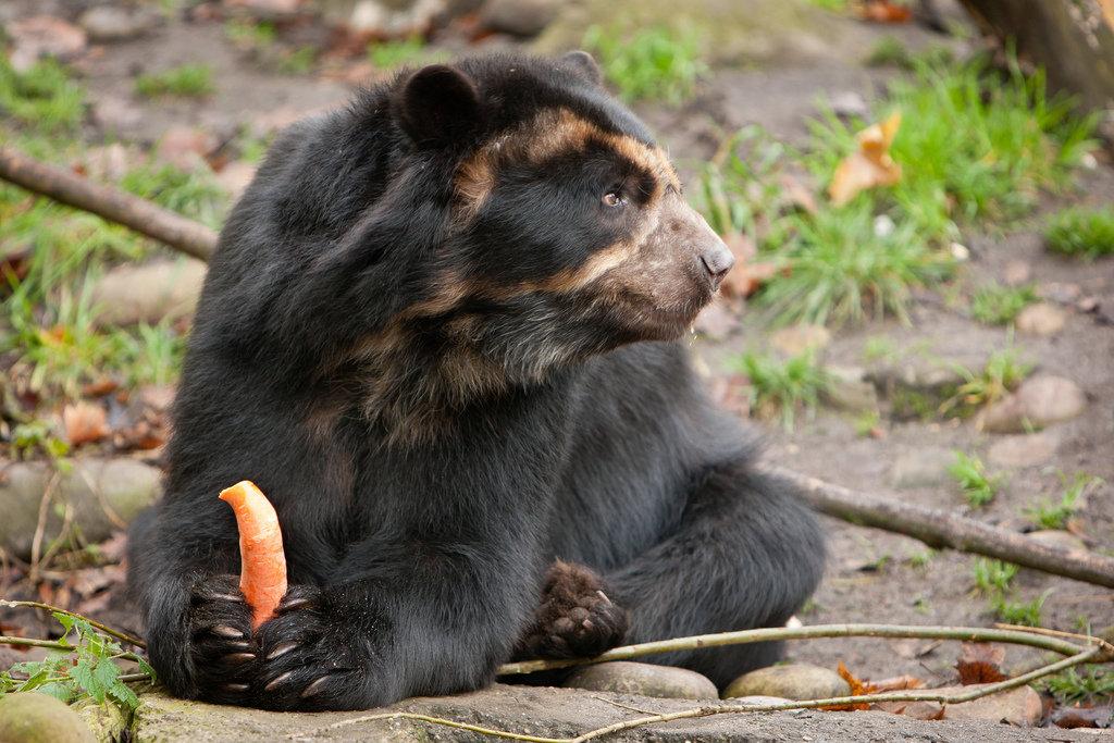 Очковый медведь: питание