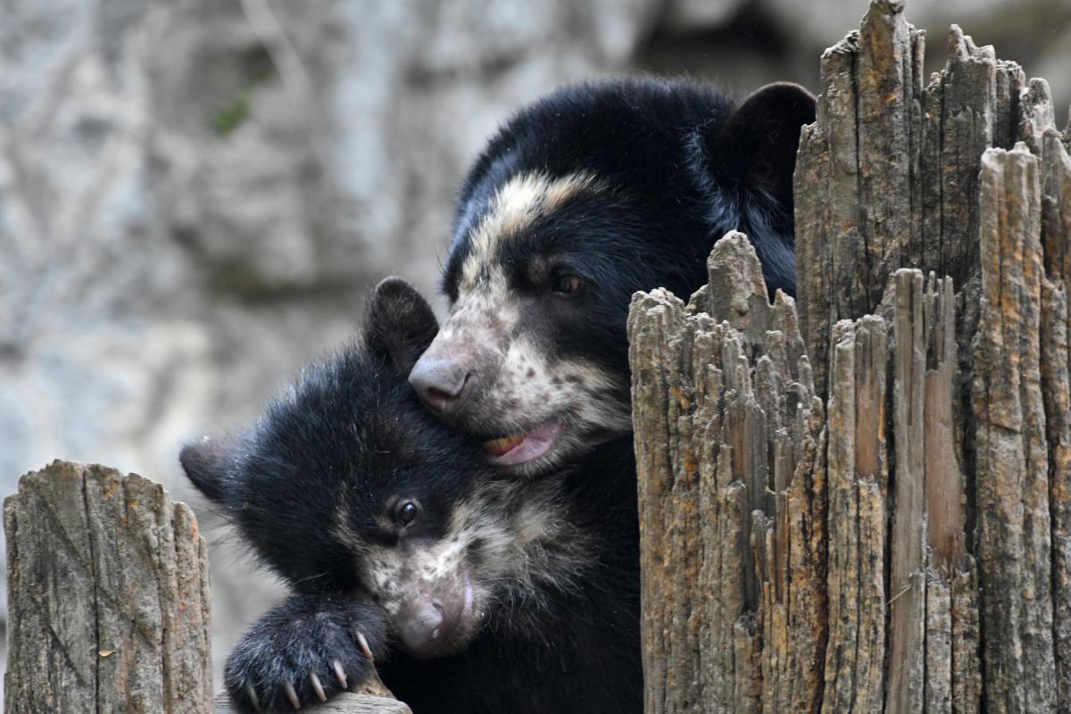 Очковый медведь с детенышем