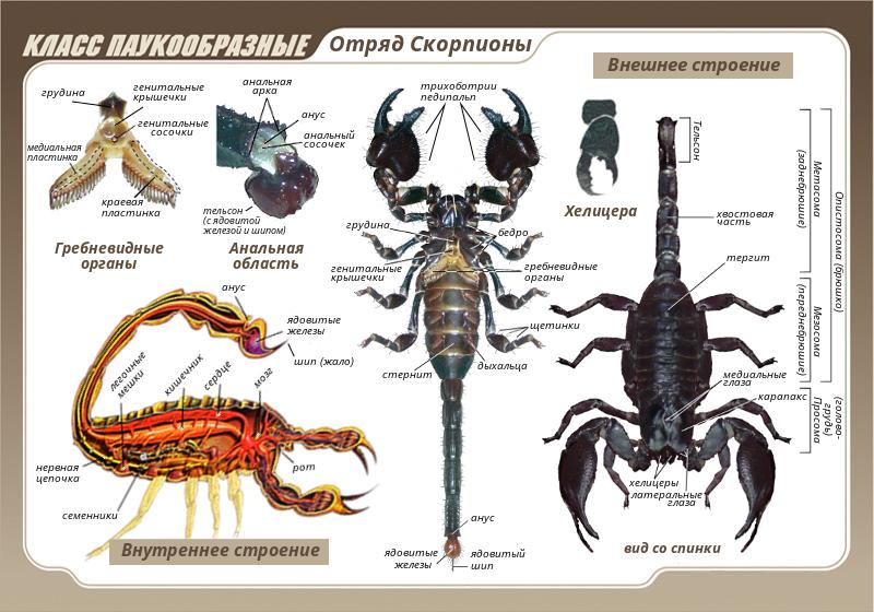 Строение скорпионов