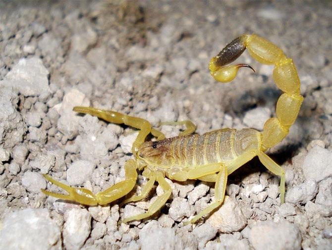 Скорпион видаLeiurus quinquestriatus является самым ядовитым представителем отряда