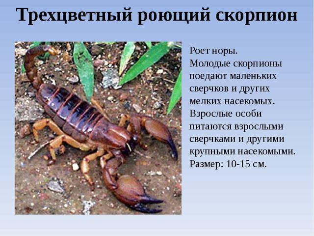 Виды скорпионов: Трехцветный роющий скорпион