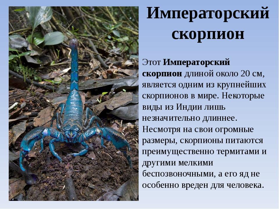 Виды скорпионов. Императорский скорпион