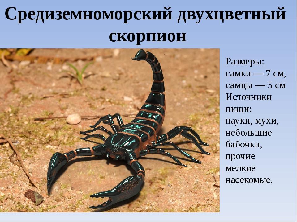 Виды скорпионов. Средиземноморский двухцветный скорпион