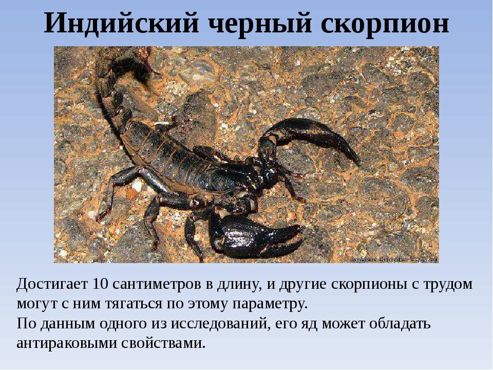 Виды скорпионов. Индийский черный скорпион