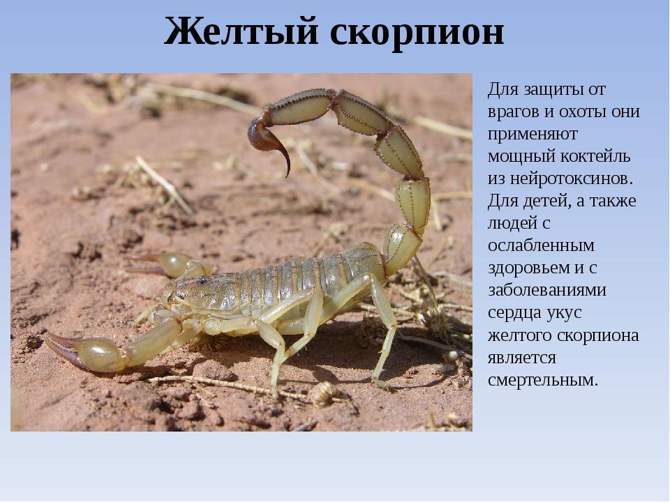 Виды скорпионов. Желтый скорпион