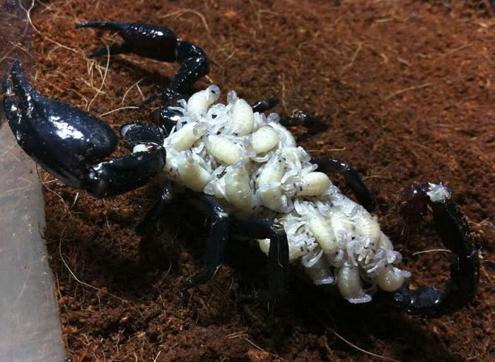 Самка императорского скорпиона с детенышами на спине