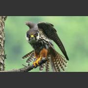 Чеглок (Falco subbuteo) - небольшой сокол. Питание и размножение птицы