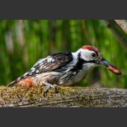 Дятел белоспинный: местообитание, питание и размножение птиц