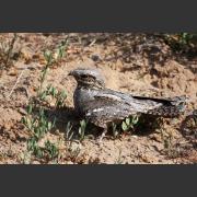 Козодой (Caprimulgus europaeus): общая характеристика птицы