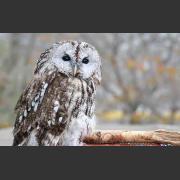 Неясыть серая: миграции, размножение, питание и местообитания птицы