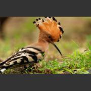 Удод (Upupa epops): питание, размножение и миграции птицы