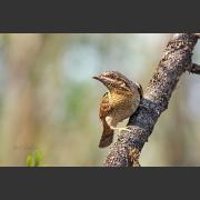 Вертишейка (Jynx torquilla) - птица из семейства дятловых