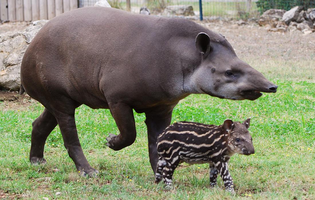 Равнинный тапир с детенышем