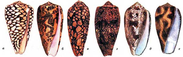 Ядовитые брюхоногие моллюски
