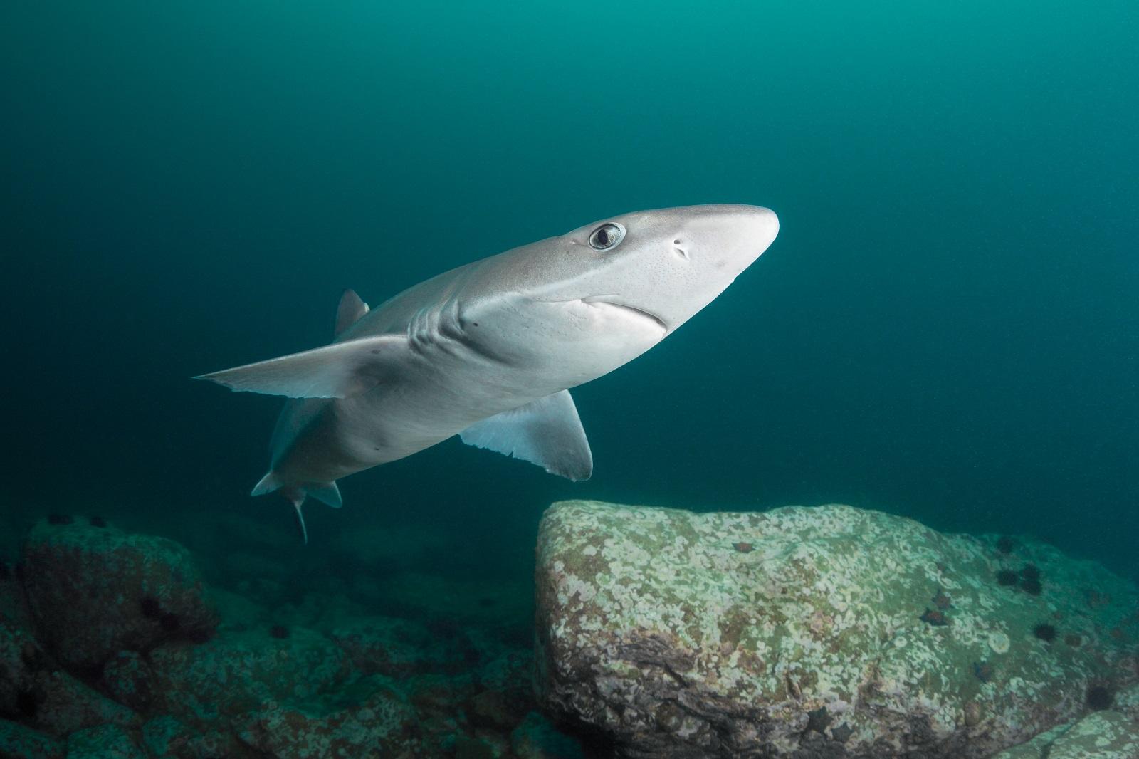 Колючие акулы. Катран - черноморская акула, опасная для человека