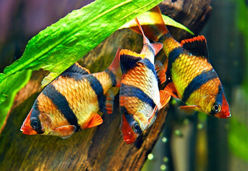 Стайка барбусов суматранских. Секреты содержания рыбок