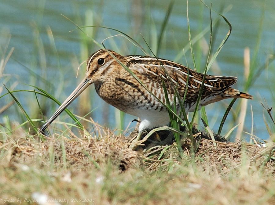 Бекас: фото и описание птицы. Обитание, питание, размножение