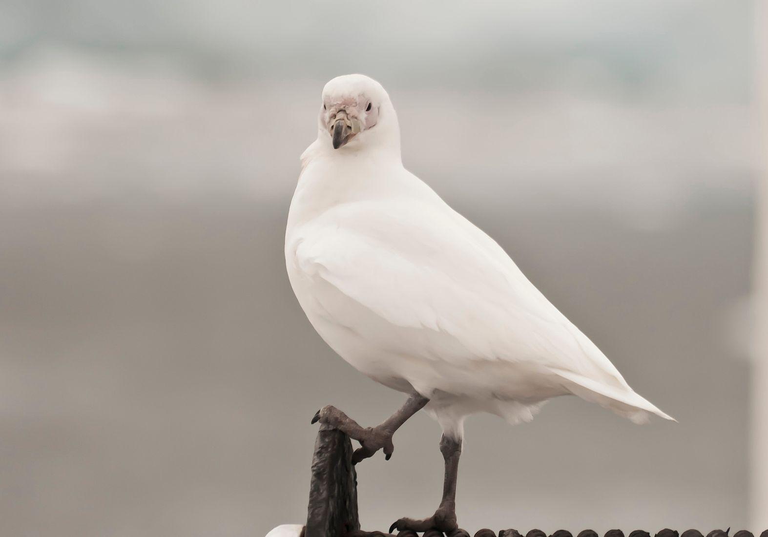 Белая ржанка: интересные факты о животном. Обитание и питание