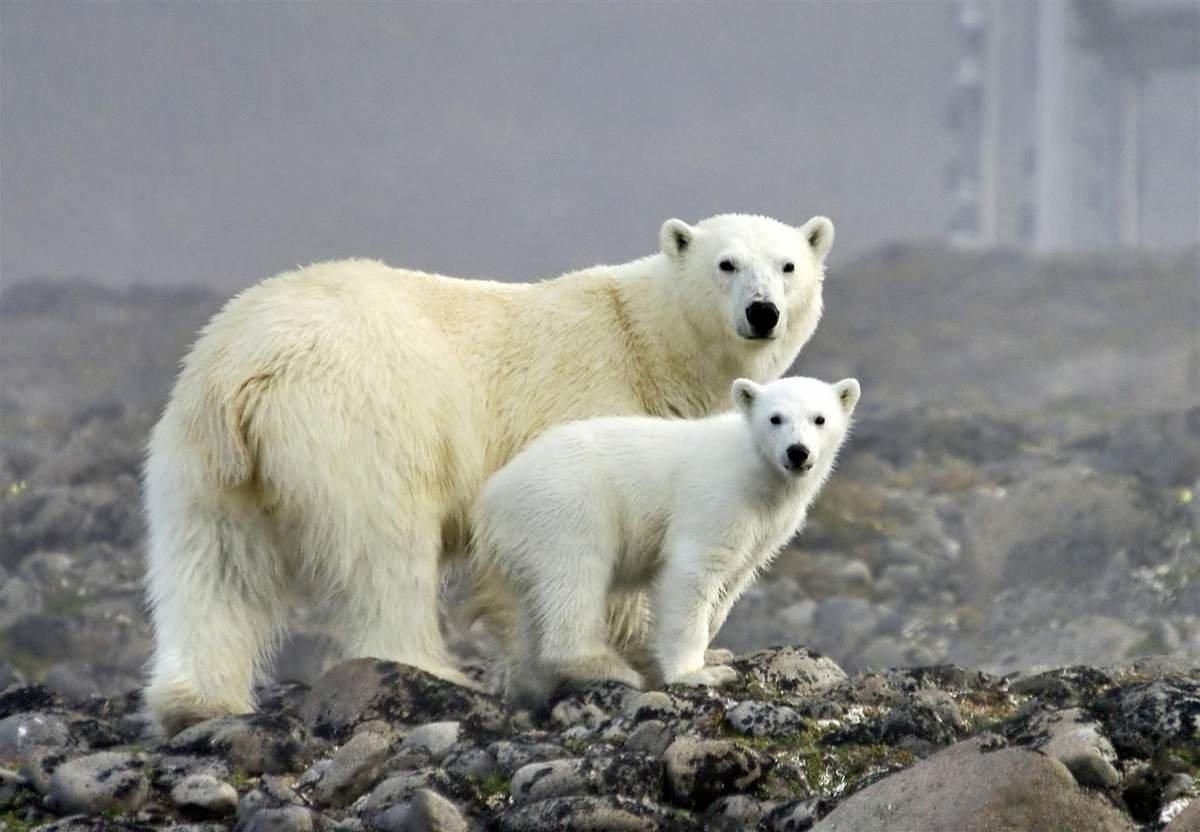 Белый медведь: интересные факты о животном. Питание и обитание