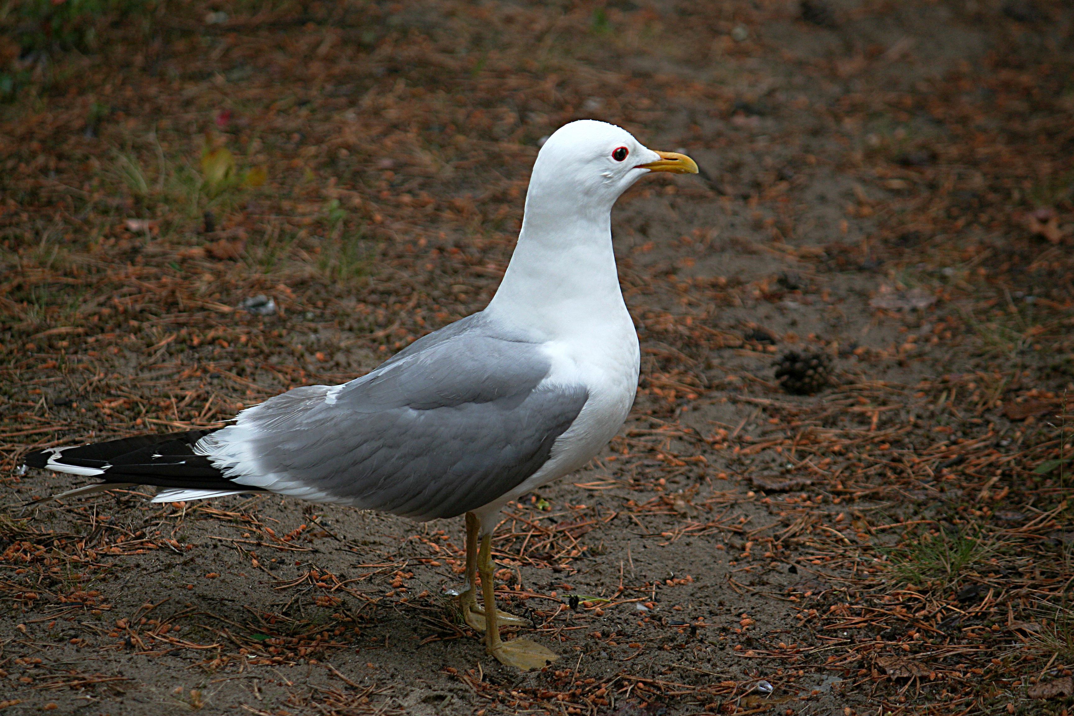 Чайка сизая: фото и описание птицы. Обитание, питание, размножение