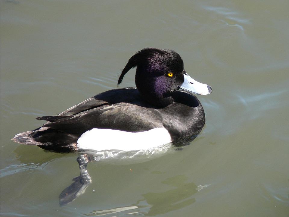 Чернеть хохлатая: фото и описание птицы. Обитание и питание