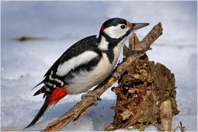 Дятел пестрый большой: общая характеристика и особенности птицы