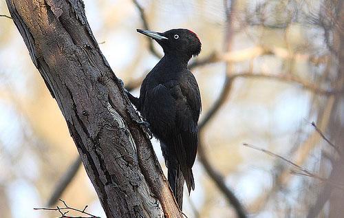 Дятел черный, или желна: размножение и питание птиц