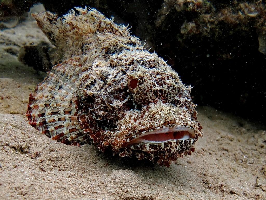 Бородавчатка - самая ядовитая рыба