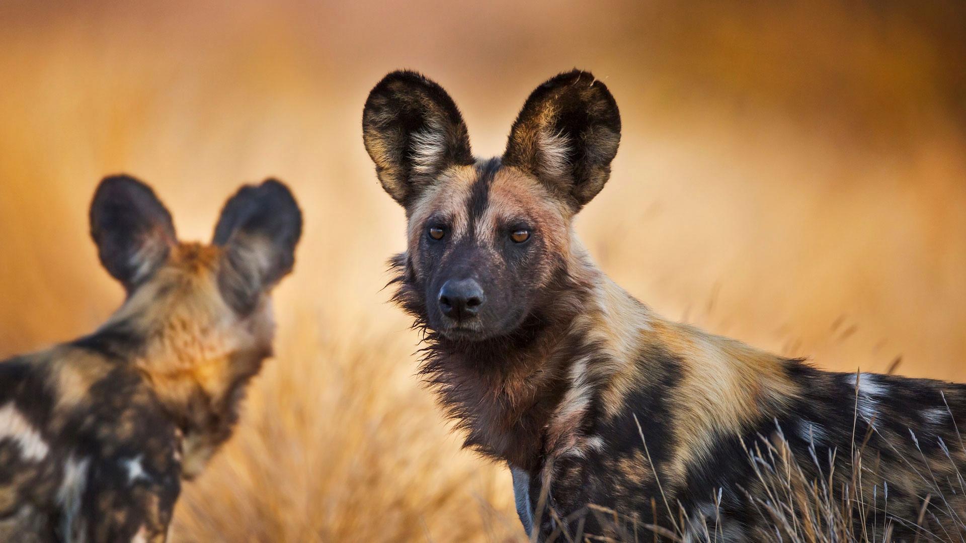 Гиеновые собаки: охота и соперничество с гиенами. Фото и видео животных