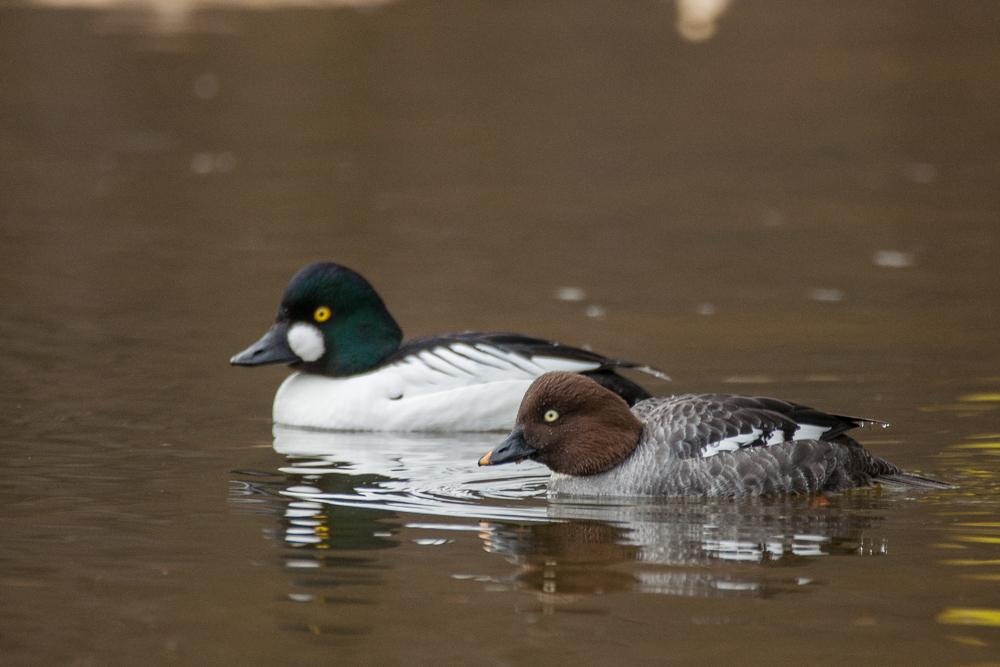 Гоголь: фото и описание птицы. Обитание, питание, размножение