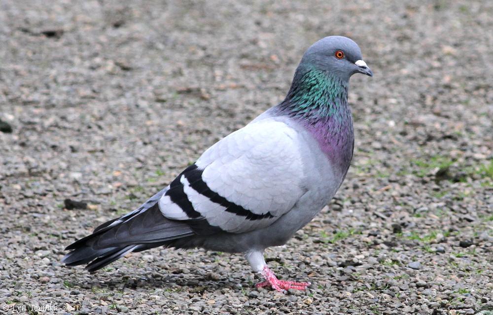 Голубь сизый: фото и описание птицы. Обитание, питание, размножение