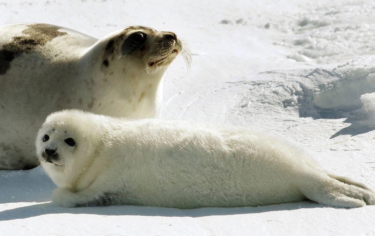 Гренландский тюлень: интересные факты о животном. Питание и обитание