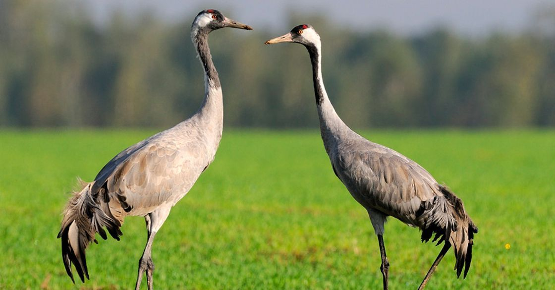 Журавль серый: фото и описание птицы. Обитание, питание, размножение