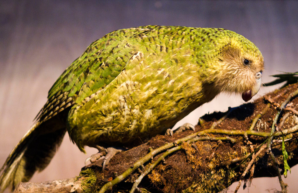 Какапо: интересные факты о попугае. Где обитает и чем питается
