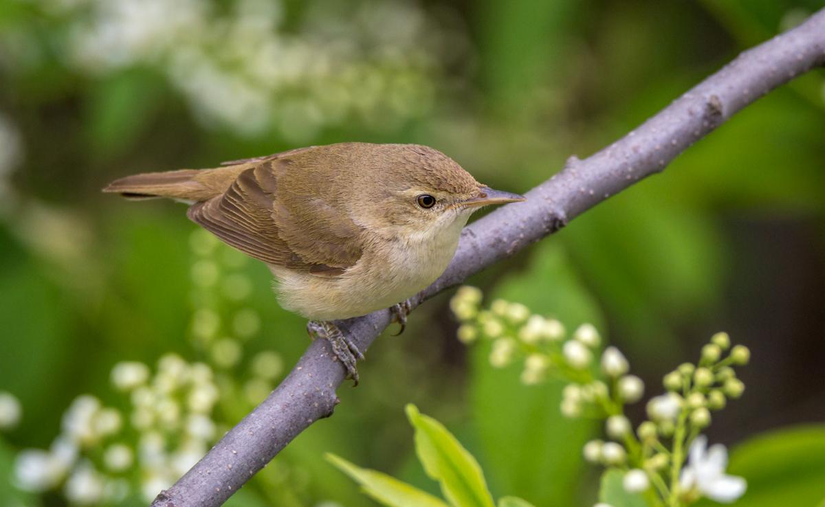 Камышевка садовая: фото и описание птицы. Обитание и питание