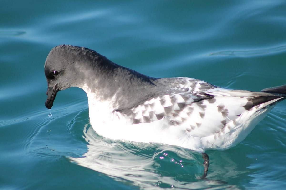 Капский голубок: интересные факты о животном. Обитание и питание