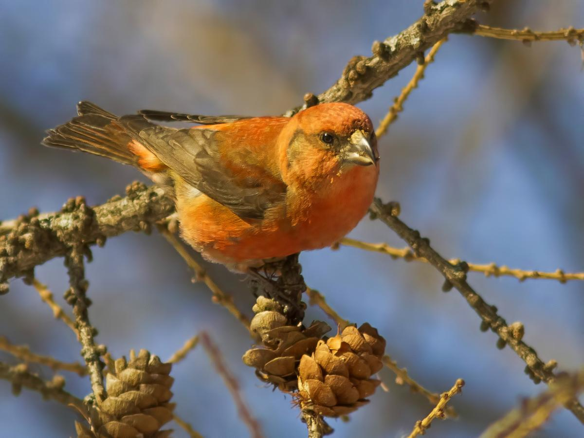 Клест-еловик: фото и описание птицы. Обитание, питание, размножение