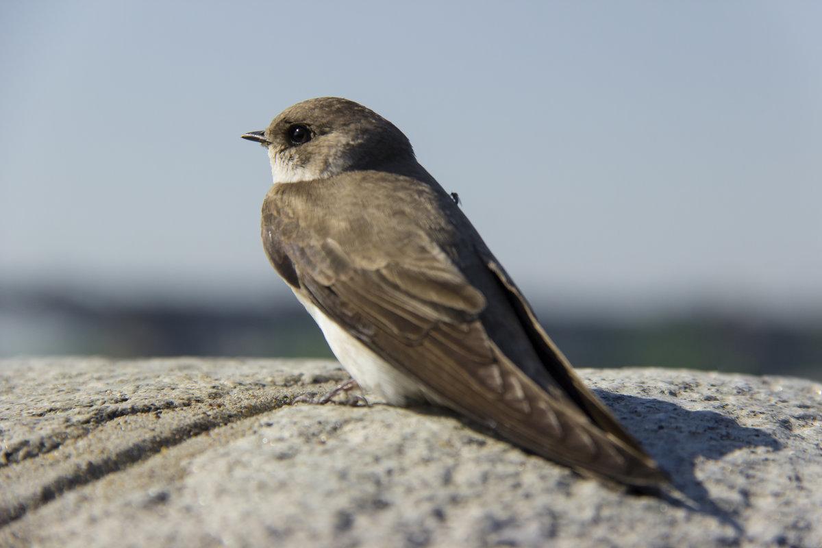Ласточка береговая, или ласточка-береговушка: фото и описание птицы