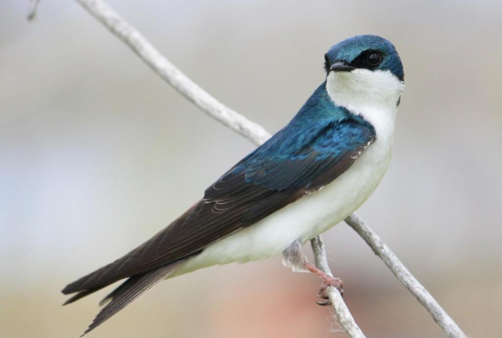 Ласточка городская, или воронок: фото и описание птицы