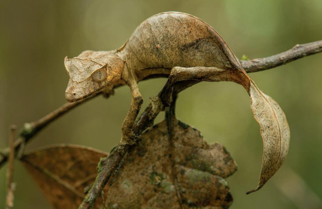 Листохвостый мадагаскарский геккон