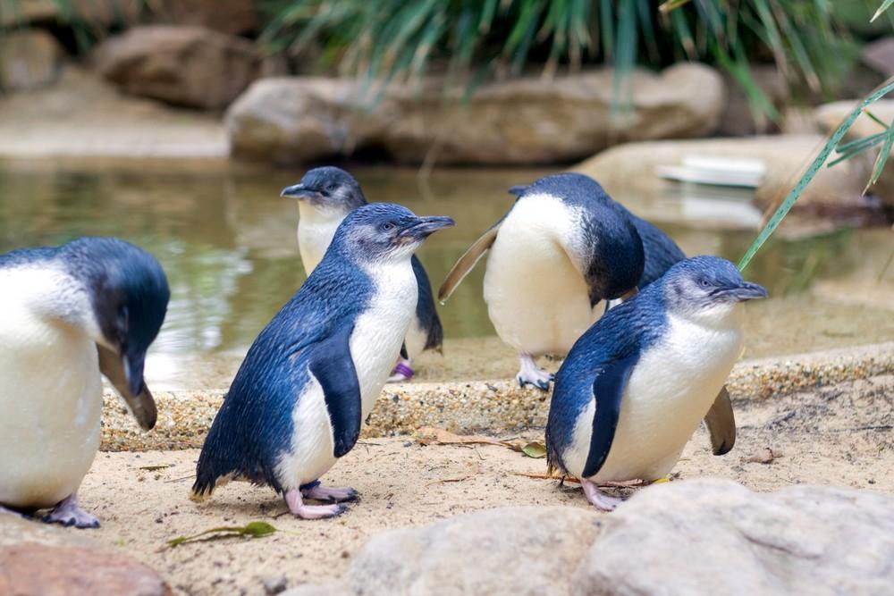 Малый австралийский пингвин