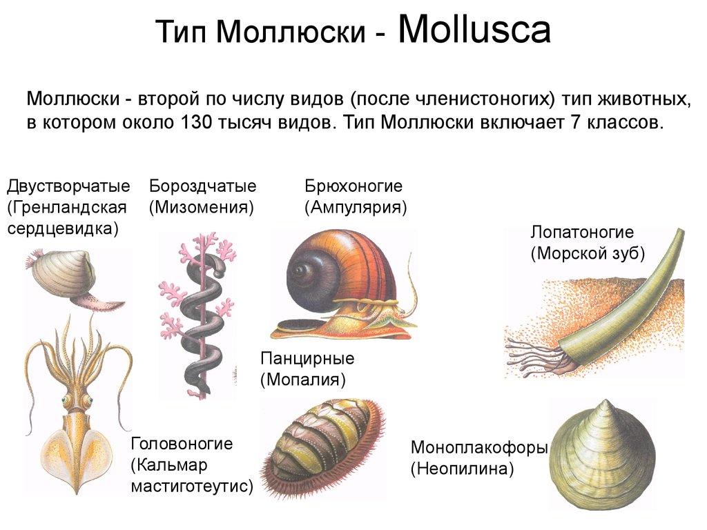 Моллюски: головоногие, брюхоногие и двустворчатые. Строение видов