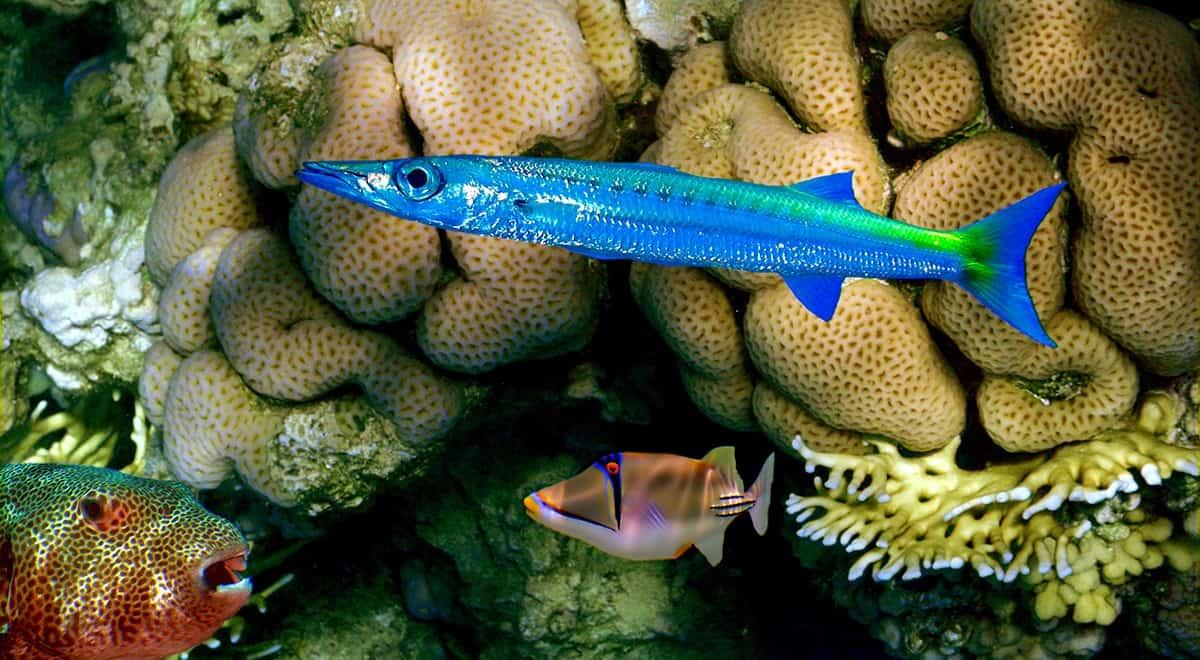 Сигуатоксин в рыбах