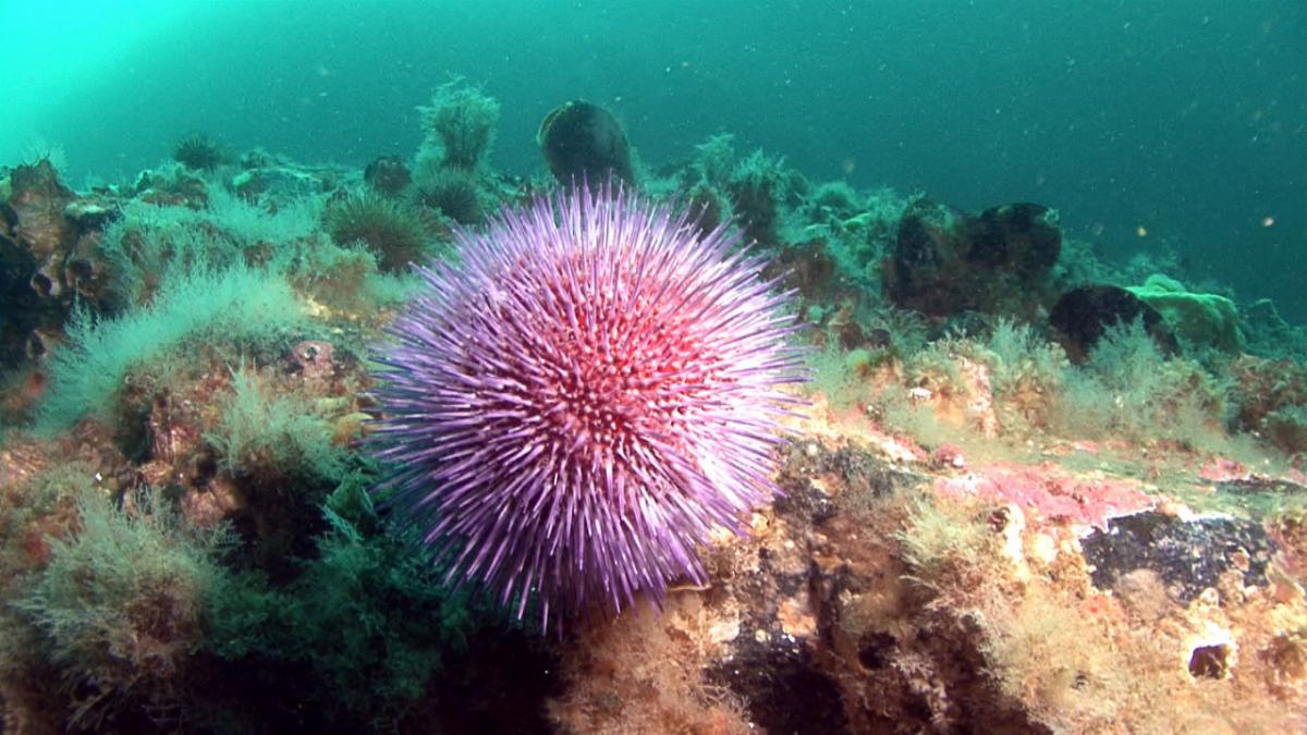 Морской еж в привычной морской среде обитания