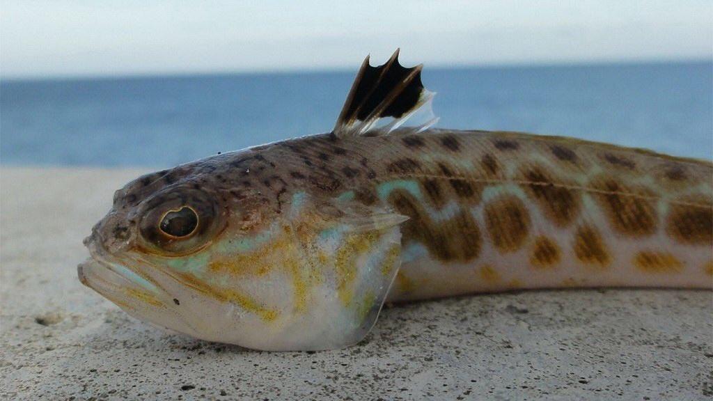 Морские дракончики: ядовитые рыбы и последствия их укуса