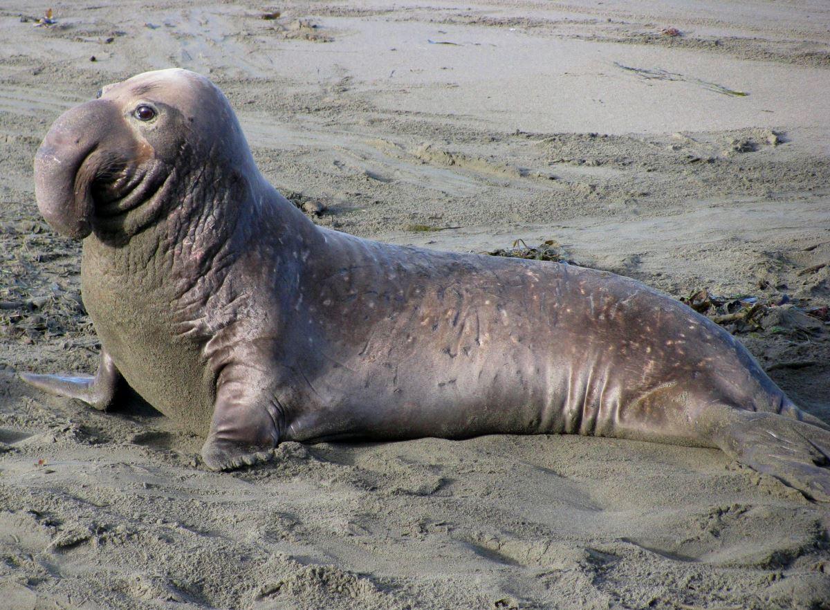 Южный морской слон: интересные факты о животном