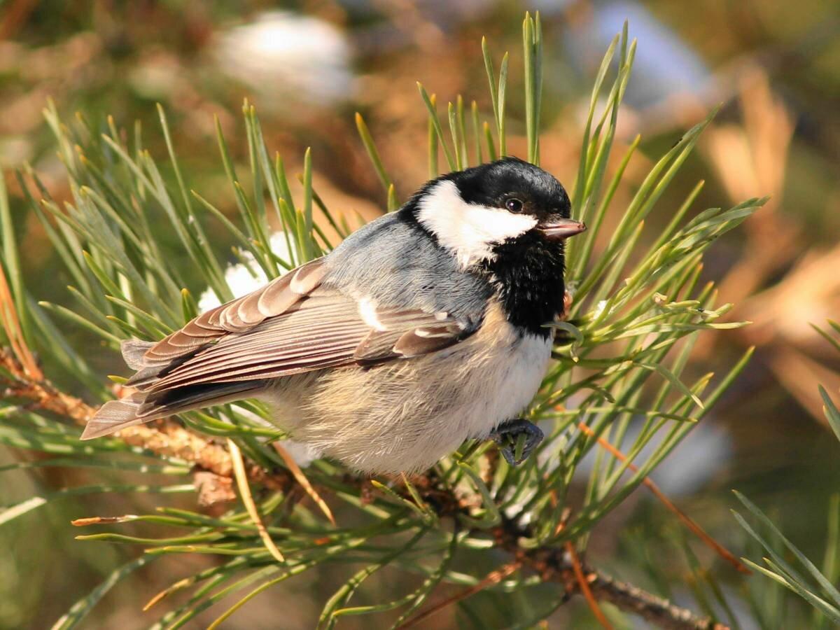Московка: фото и описание птицы. Обитание, питание, размножение