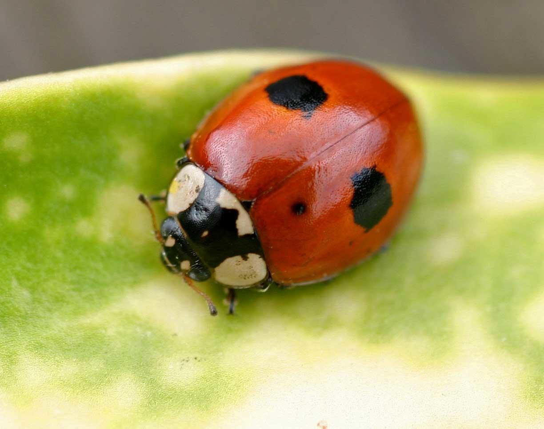 Двухточечная коровка: питание, образ жизни, места обитания